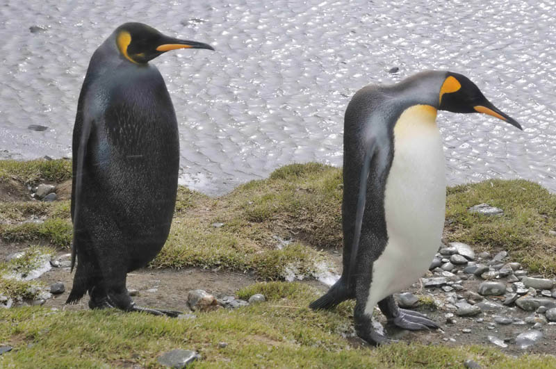 melanistic black king emperor penguin 10 Incredible Melanistic (All Black) Animals