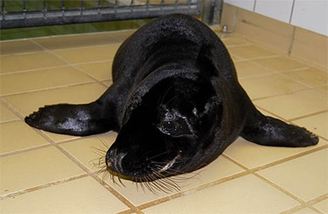 melanistic black seal 10 Incredible Melanistic (All Black) Animals