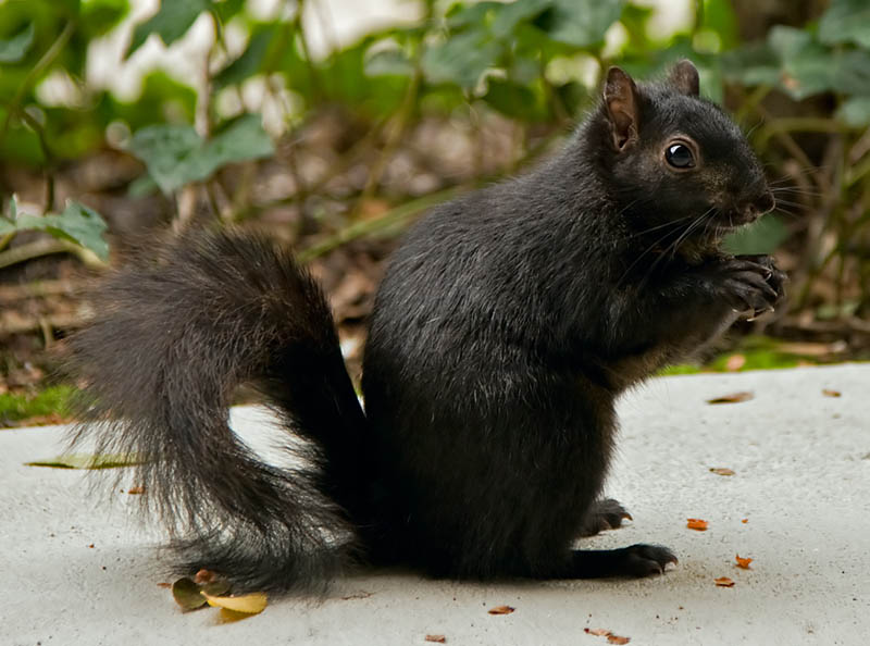 melanistic black squirrel 10 Incredible Melanistic (All Black) Animals