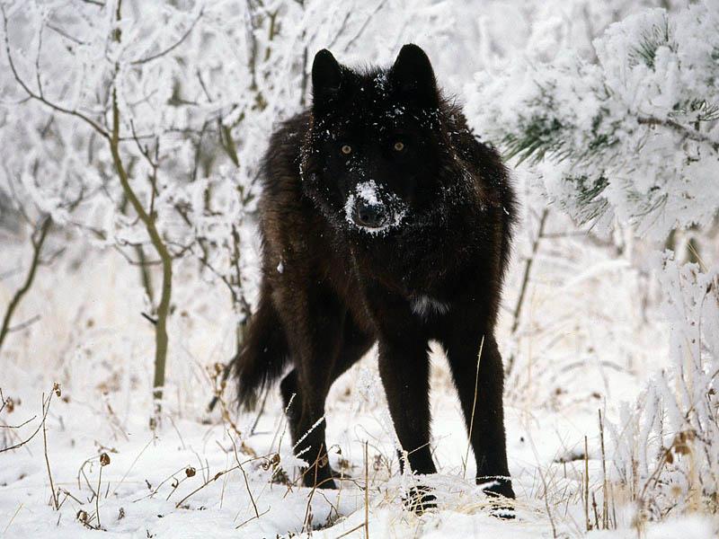 雪の中の黒い狼