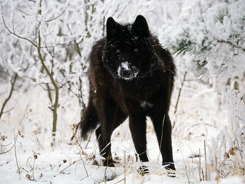 melanistic black wolf 10 Incredible Melanistic (All Black) Animals