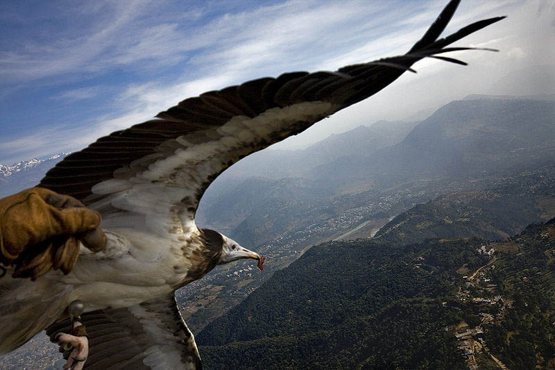 parahawking with egyptian vulture The Ultimate Guide to Parahawking in Nepal