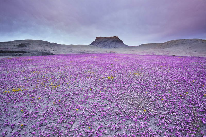 purple flowers field badlands of utah Picture of the Day: A Sea of Purple in the Badlands of Utah