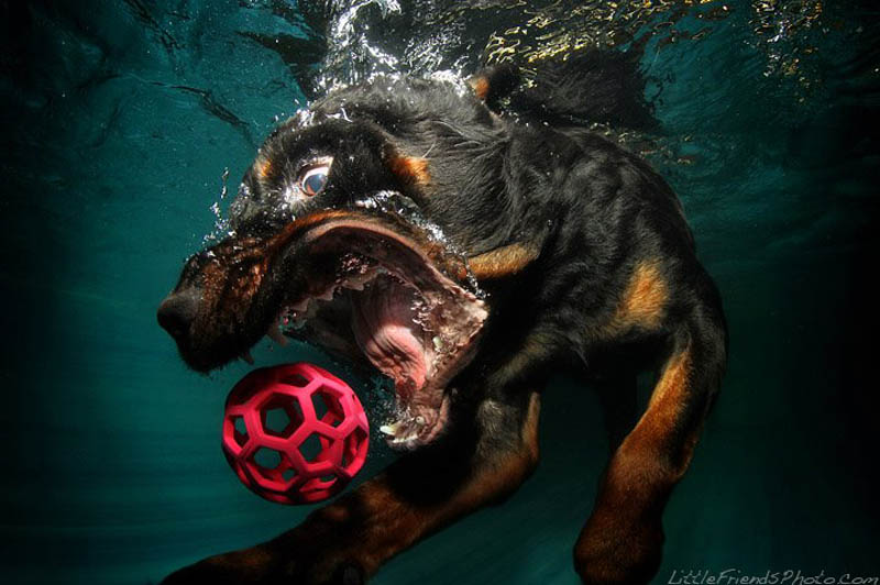 underwater photos of dogs seth casteel 11 12 Underwater Photos of Dogs Fetching Their Ball