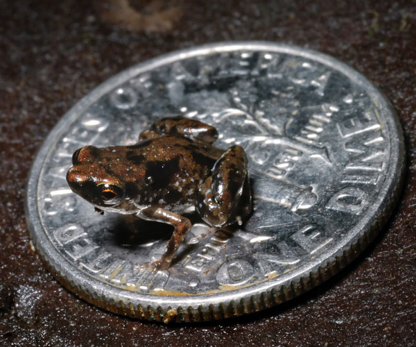 worlds smallest tiniest frog The Tiniest Chameleon in the World