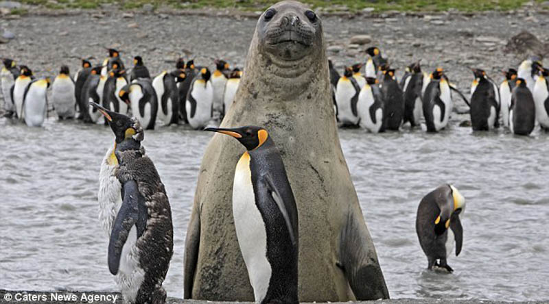 animal photobomb seal photobombing penguins The 35 Cutest Baby Elephants You Will See Today