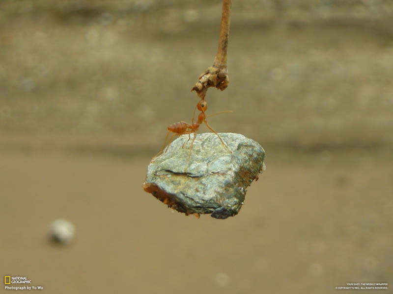 ant biting branch and holding onto lifting rock The Top 75 Pictures of the Day for 2012
