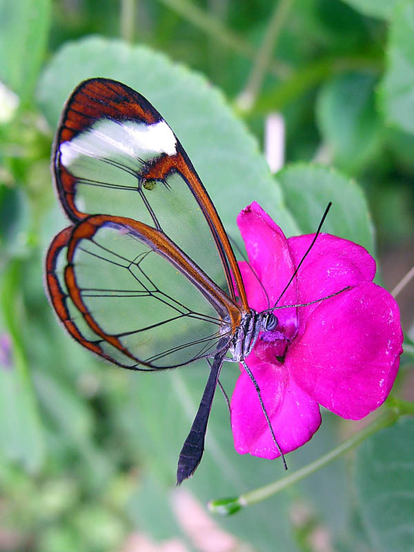 glasswinged butterfly side view 15 Stunning Photos of the Glasswinged Butterfly
