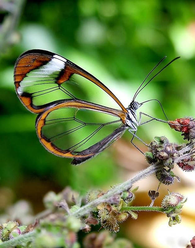 greta oto butterfly 15 Stunning Photos of the Glasswinged Butterfly