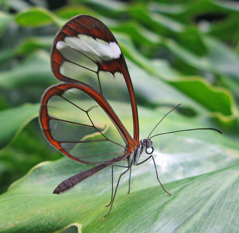 greta oto 15 Stunning Photos of the Glasswinged Butterfly
