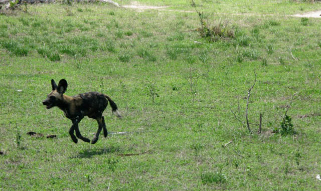 hover african wild dog The 25 Funniest Hover Animals Ever