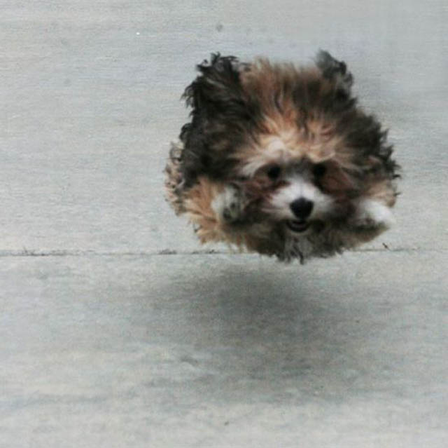 hover dog flying dog 1 The 25 Funniest Hover Animals Ever
