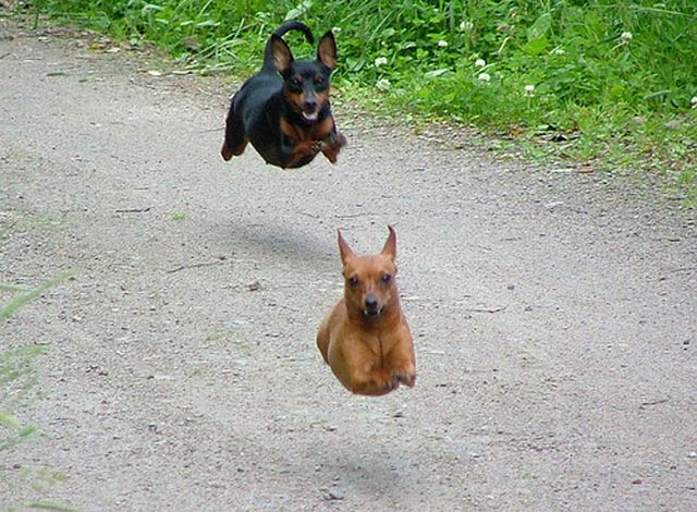 hover dog flying dog 6 The 25 Funniest Hover Animals Ever