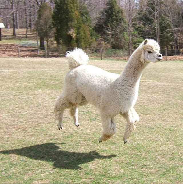hover llama 1 The 25 Funniest Hover Animals Ever