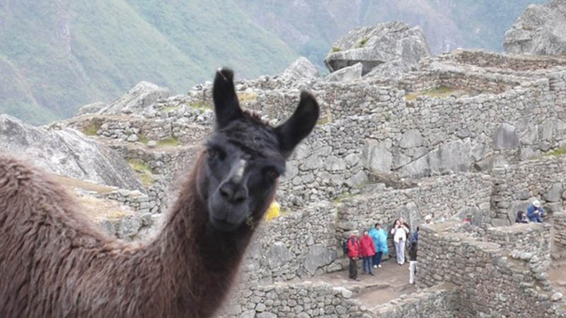 llama photobomb animals photobombing The 15 Greatest Animal Photobombs of All Time