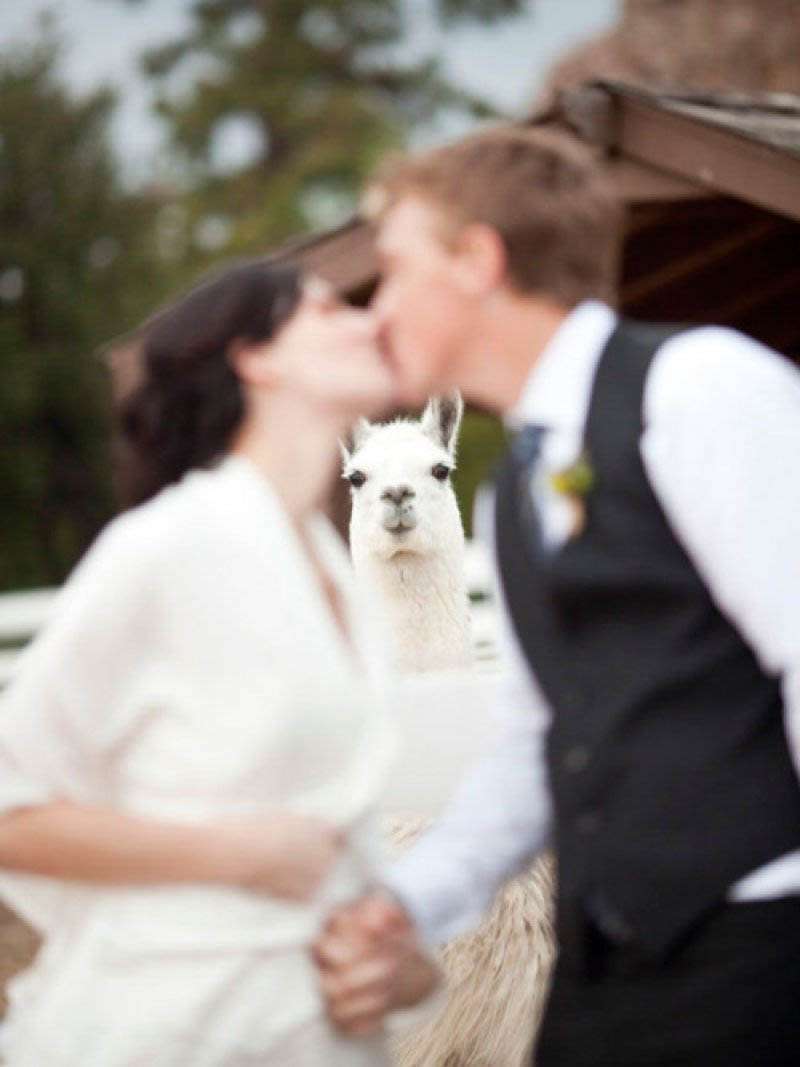 llama photobombs married couple kissing animal photobombing The 15 Greatest Animal Photobombs of All Time