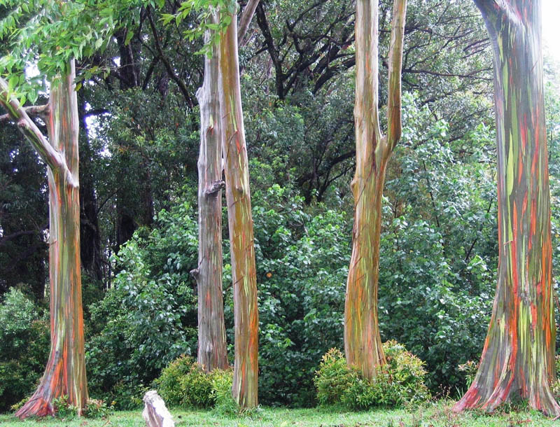 Picture Of The Day: The Rainbow Eucalyptus Tree «TwistedSifter