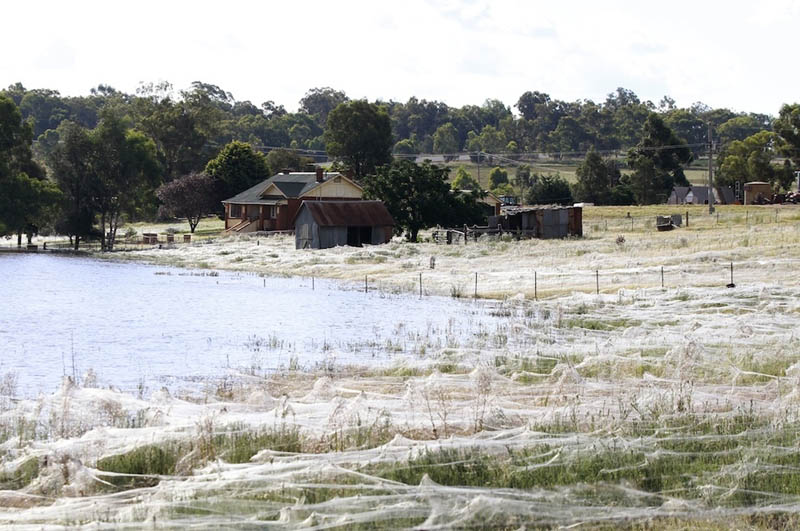 spider webs cover field queenland australia flooding 2012 1 Spiders Blanket Fields in Webs to Avoid Flood Waters in Australia