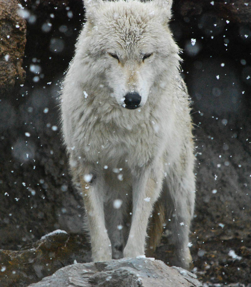 Picture of the Day: The Lone Wolf