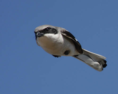 actual angry bird in mid flight real life 40 Real Life Angry Birds