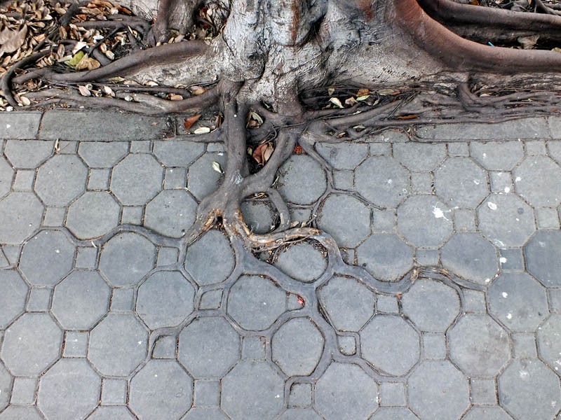 Picture of the Day: Adaptive Roots in the ConcreteJungle