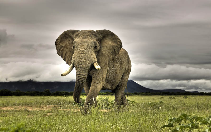 The heaviest land animal in the world the african bush elephant