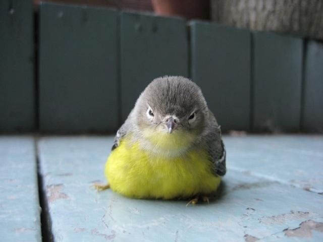 angry looking bird actual 40 Real Life Angry Birds