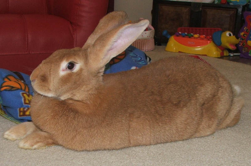 biggest rabbit hare in world flemish giant 15 of the Largest Animals in the World