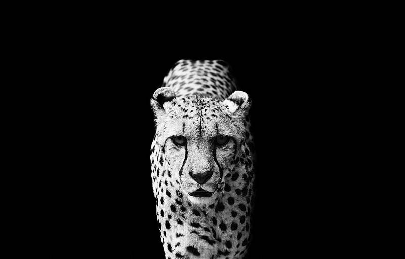 15 Stunning Black And White Animal Portraits By Nicolas Evariste Twistedsifter