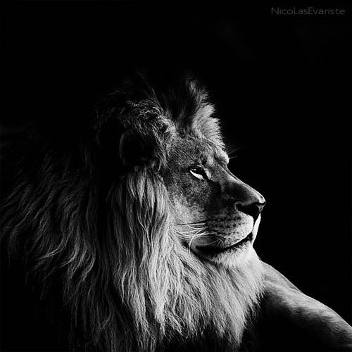 black and white animal portraits square nicolas evariste 10 15 Stunning Black and White Animal Portraits by Nicolas Evariste