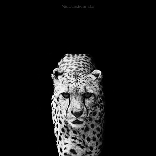 black and white animal portraits square nicolas evariste 13 15 Stunning Black and White Animal Portraits by Nicolas Evariste