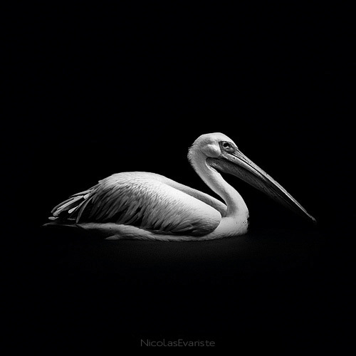 black and white animal portraits square nicolas evariste 17 15 Stunning Black and White Animal Portraits by Nicolas Evariste