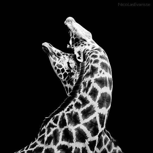 black and white animal portraits square nicolas evariste 2 15 Stunning Black and White Animal Portraits by Nicolas Evariste