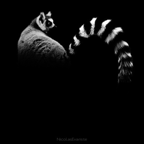 black and white animal portraits square nicolas evariste 4 15 Stunning Black and White Animal Portraits by Nicolas Evariste
