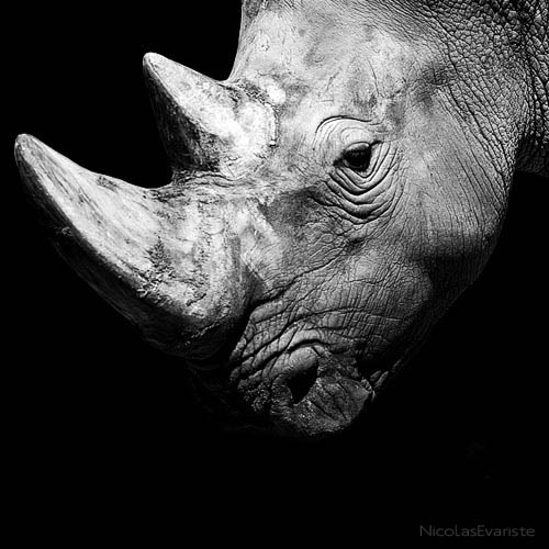 black and white animal portraits square nicolas evariste 9 15 Stunning Black and White Animal Portraits by Nicolas Evariste