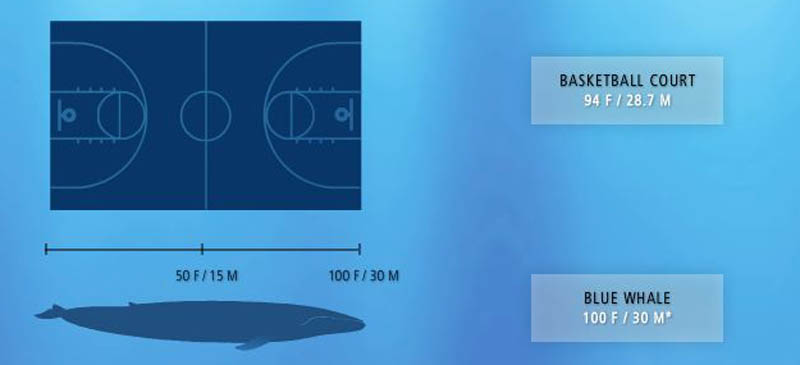 blue whale size of basketball court 15 of the Largest Animals in the World