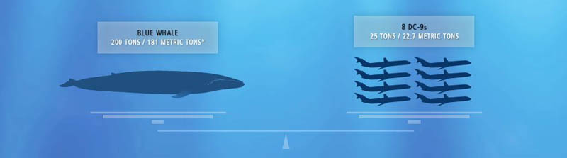 blue whale weight vs dc9 airplanes 15 of the Largest Animals in the World