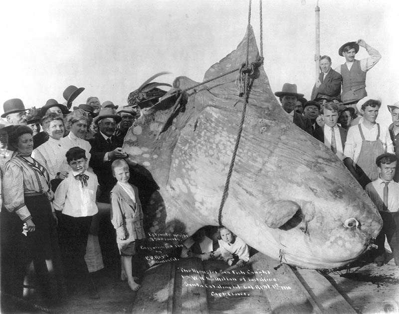 enormous sunfish black and white 1910 15 of the Largest Animals in the World