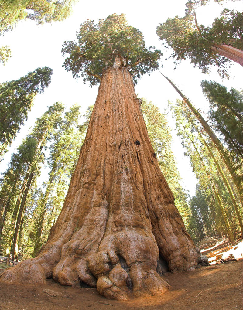 general sherman tree looking up  Picture of the Day: The Largest Tree in the World