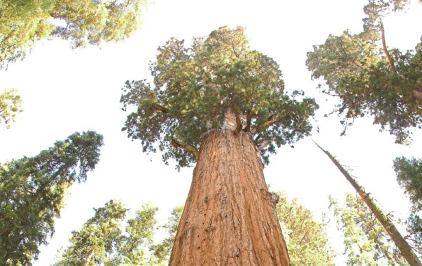 Image result for world largest tree