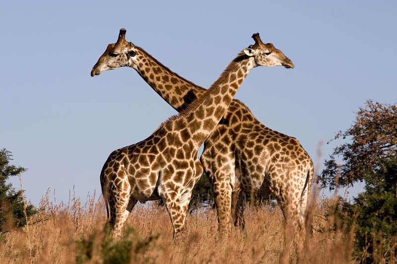 giraffes 15 of the Largest Animals in the World