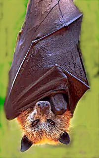 golden crowned fruit bat 15 of the Largest Animals in the World