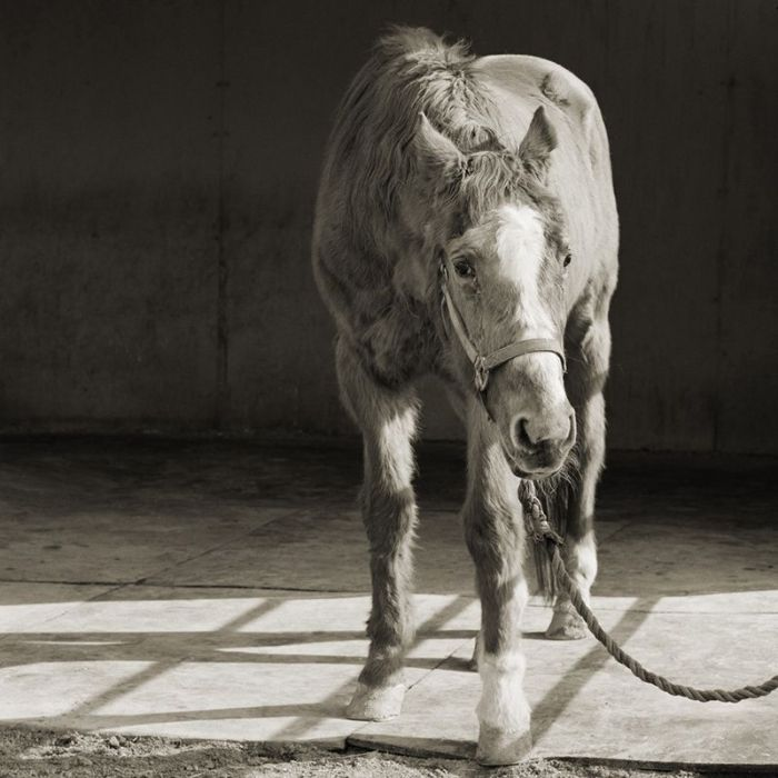handsome one 33 thoroughbred horse elderly animals isa leshko Portraits of the Human Body at 100 Years of Age