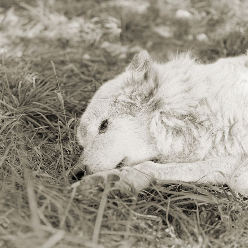 kiri great plains wolf 17 elderly animals isa leshko Touching Portraits of Elderly Animals