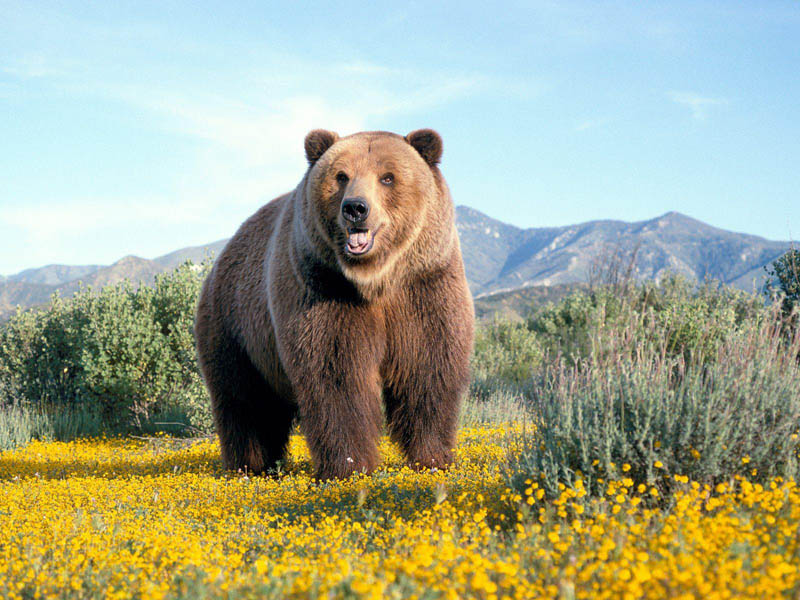 kodiak bear 15 of the Largest Animals in the World