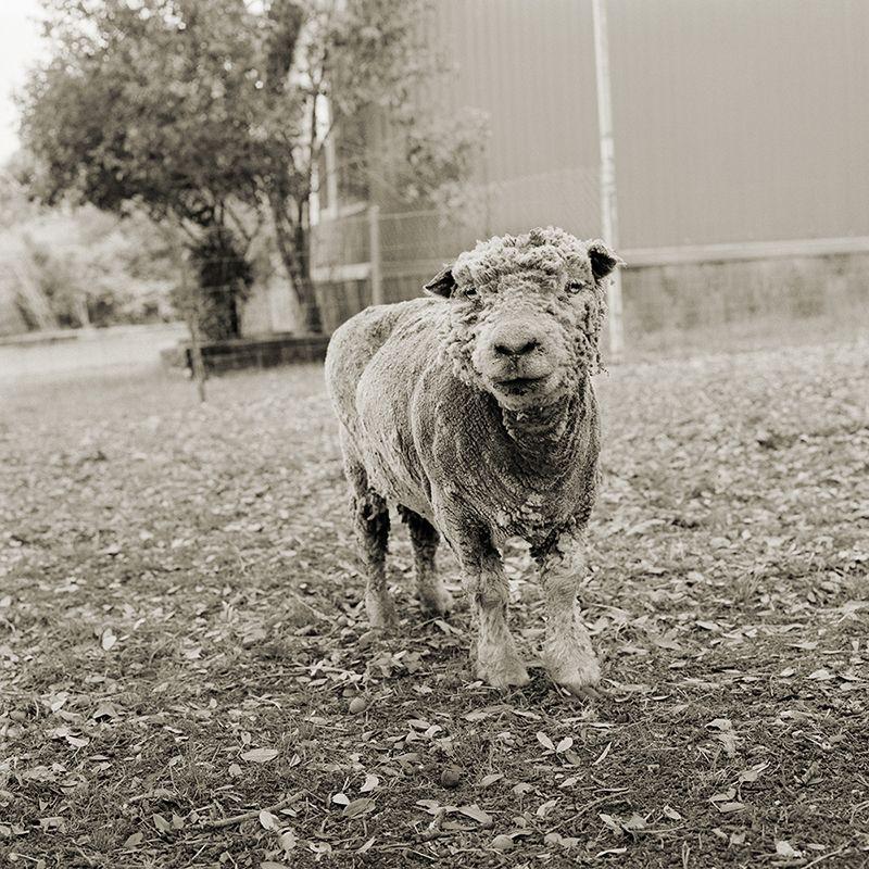 phyllis southdown sheep 13 elderly animals isa leshko Touching Portraits of Elderly Animals