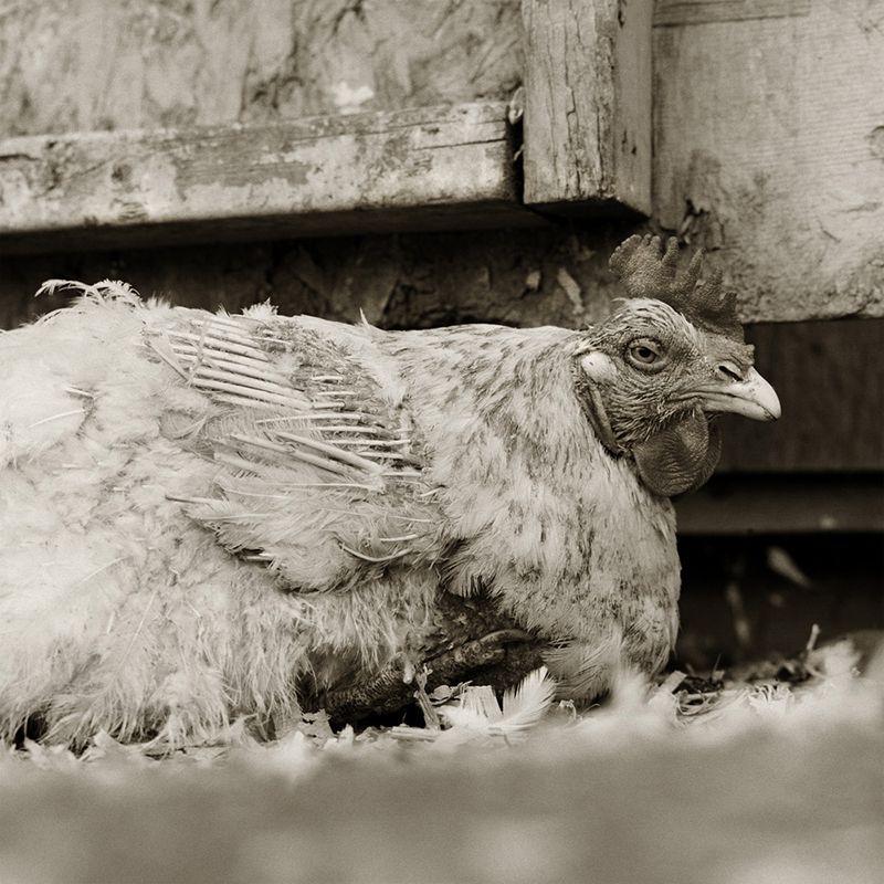 rooster elderly animals isa leshko Touching Portraits of Elderly Animals