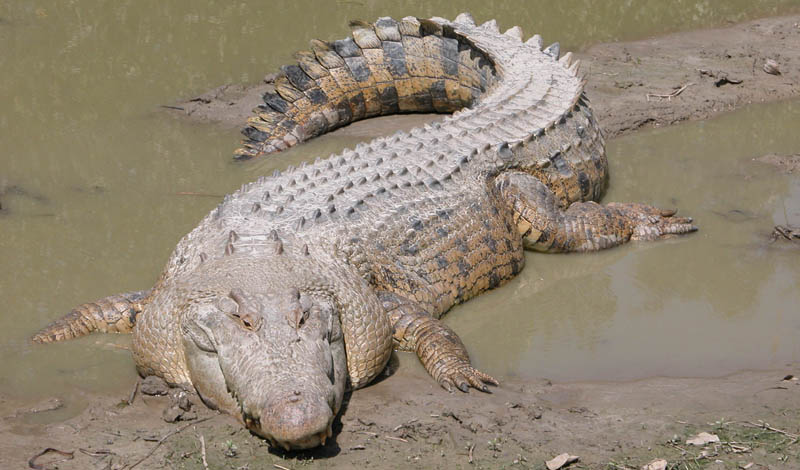 Saltwater Crocodile,The Largest Reptile in the World: The Saltwater Crocodile