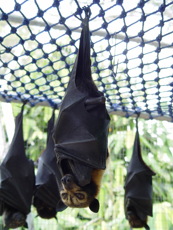 spectacled flying fox 15 of the Largest Animals in the World