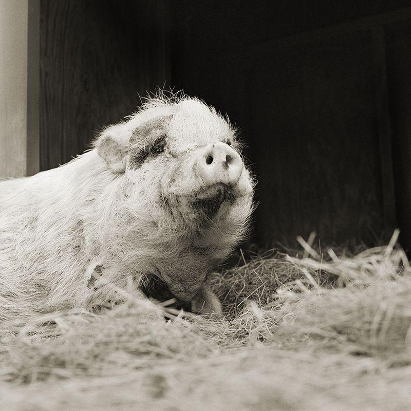 violet potbellied pig 12 elderly animals isa leshko Touching Portraits of Elderly Animals